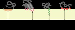 Proteína periférica de membrana