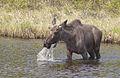 Moose (Alces alces) (14262649630).jpg
