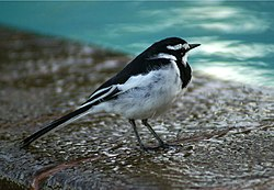 An African Pied Wagtail in Kilifi, Kenya