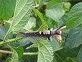 Moth from Ezhimala DSCN2309.jpg