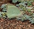 Mottled Emigrant (Catopsilia pyranthe) on Coldenia procumbens W IMG 0129.jpg
