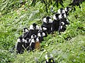 Multi-male unit of Rwenzori colobus in Nyungwe .jpg