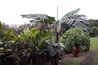 Goldfinger banana Edible fruit cultivar