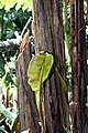 Musa zebrina 9zz.jpg
