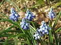 Muscari chalusicum - Flickr - peganum.jpg