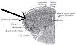 diametro trasverso muscolo
