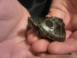 Sternotherus odoratus - Image: Musk turtle