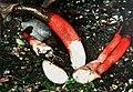 Mutinus elegans (DG 98 1108).jpg