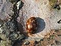 Myrrha octodecimguttata 01.JPG