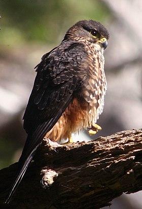 NZ Falcon - Karearea 02.JPG
