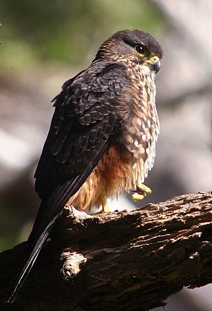 New Zealand falcon - Image: NZ Falcon Karearea 02