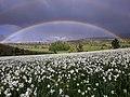 Narcissus field and rainbow near Shishtavec village.jpg