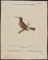 Nectarinia afra - 1700-1880 - Print - Iconographia Zoologica - Special Collections University of Amsterdam - UBA01 IZ19000015.tif