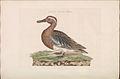 Nederlandsche vogelen (KB) - Anas querquedula (180b).jpg