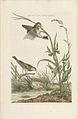 Nederlandsche vogelen (KB) - Anthus pratensis (209pl).jpg