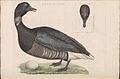 Nederlandsche vogelen (KB) - Branta bernicla (188b).jpg