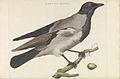 Nederlandsche vogelen (KB) - Corvus cornix (205pl).jpg
