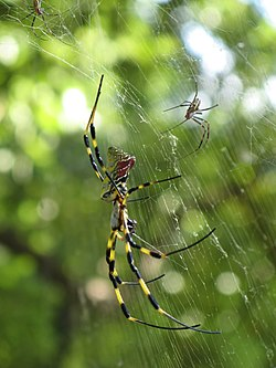 Une grande araignée Jorō, en train de manger, dans sa toile, à Tokyo au Japon, ainsi que deux mâles, beaucoup plus petits.