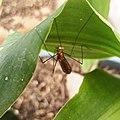 Nephrotoma sp. (Family Tipulidae).jpg