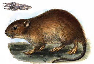 Short-tailed bandicoot rat - Image: Nesokia Huttoni