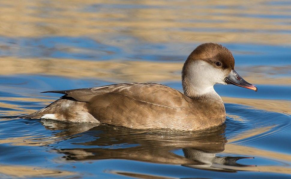 Netta rufina (female), London Wetland Centre, UK - Diliff