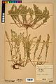 Neuchâtel Herbarium - Alyssum alyssoides - NEU000021925.jpg
