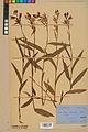 Neuchâtel Herbarium - Cephalanthera rubra - NEU000046835.jpg