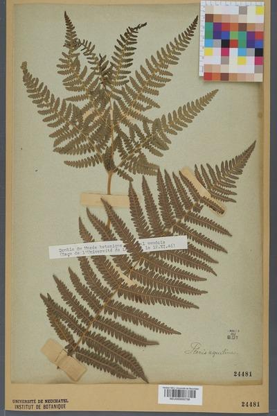 File:Neuchâtel Herbarium - Pteridium aquilinum - NEU000000738.tiff