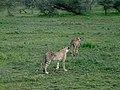 Ngorongoro (35) (13962116450).jpg