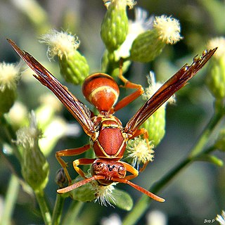 <i>Polistes bellicosus</i> species of insect