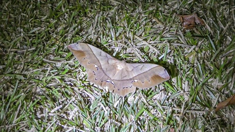 File:Night butterfly (33409048221).jpg