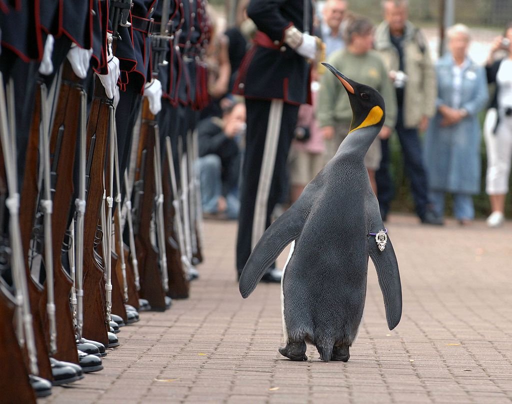 Nils Olav inspects the Kings Guard of Norway after being bestowed with a knighthood at Edinburgh Zoo in Scotland