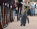 Nils Olav inspects the Kings Guard of Norway after being bestowed with a knighthood at Edinburgh Zoo in Scotland.jpg