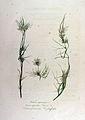 Nitella syncarpa — Flora Batava — Volume v12.jpg