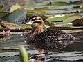 Nomonyx dominicus Pato enmascarado Masked Duck (female) (11329438515).jpg