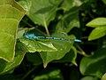 Noordwijk - Azuurwaterjuffer (Coenagrion puella).jpg