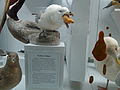 Northern fulmar display.jpg