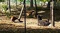 Nyíregyházi Állatpark, láma. Még egy kis pihi - panoramio.jpg