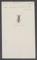 Nycteropus - Print - Iconographia Zoologica - Special Collections University of Amsterdam - UBAINV0274 027 43 0019.tif