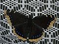 Nymphalis antiopa - Mourning cloak - Траурница (40440510914).jpg