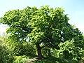 Oak in Kyiv.jpg
