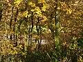 Oak wood, Blaxton Creek - geograph.org.uk - 1043996.jpg