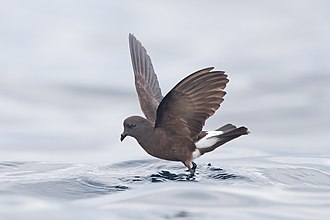Storm petrel - Wilson's storm petrel, of the family Oceanitidae.