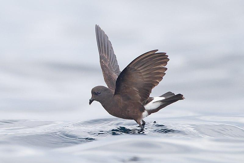 File:Oceanites oceanicus - SE Tasmania.jpg