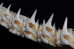 Sand shark - The long, narrow and sharp teeth of Odontaspididae (here Odontaspis ferox).