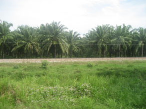 Oilpalmmagdalenacolombia.png