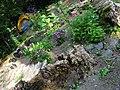 Old Growth Stump Garden - panoramio.jpg