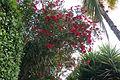 Oleander 3 2013-07-10.jpg
