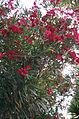 Oleander 5 2013-07-10.jpg