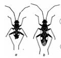 Omphalonotus quadriguttatus.png